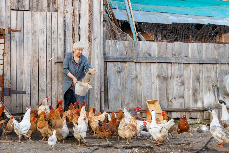Best-Chicken-feed-Reviews