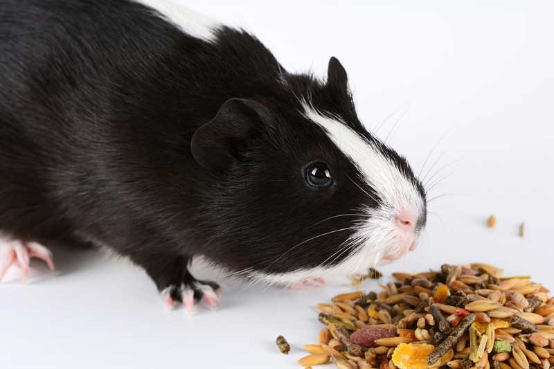Best-Guinea-Pig-Food-Reviews