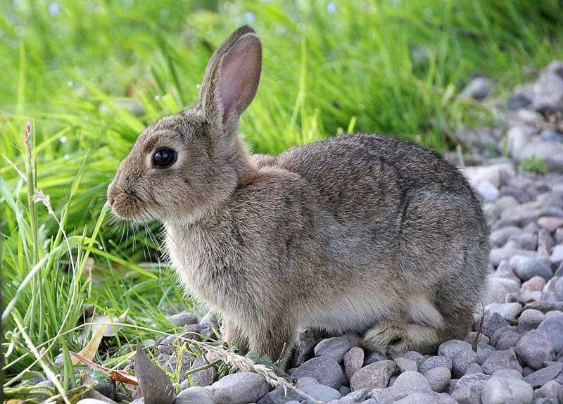 How-Many-Years-Does-a-Pet-Rabbit-Live