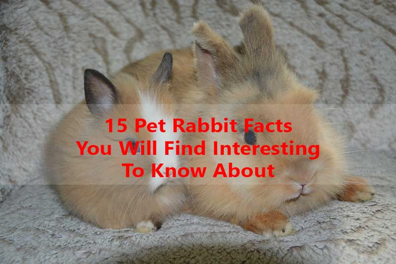 Interesting-fact-about-rabbit