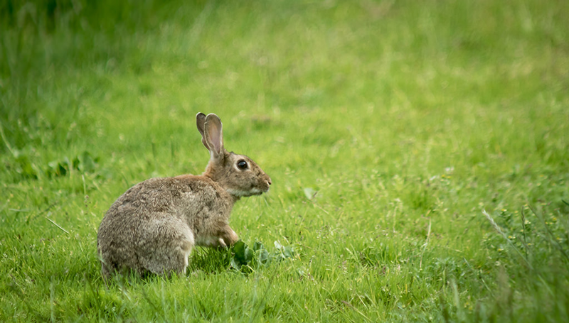 The-Lifespan-of-a-Wild-Rabbit
