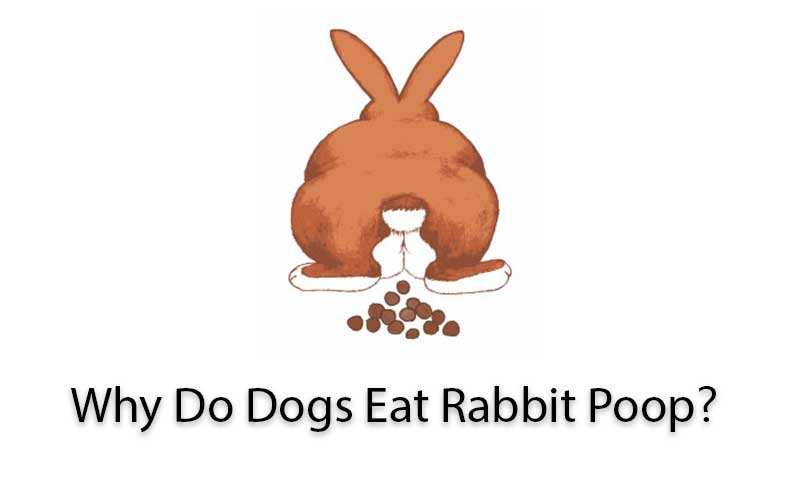 Why-Do-Dogs-Eat-Rabbit-Poop