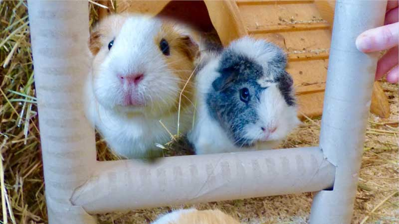 Best-Guinea-Pig-Toys-Reviews