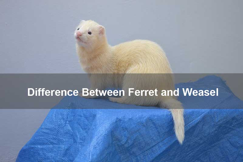 Difference-Between-Ferret-and-Weasel