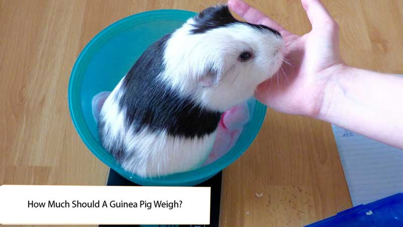 How-Much-Should-A-Guinea-Pig-Weigh