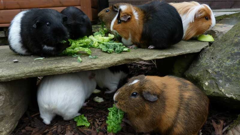 How-Often-Do-You-Feed-a-Guinea-Pig