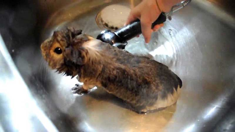 How-To-Bathe-A-Guinea-Pig-With-And-Without-Shampoo