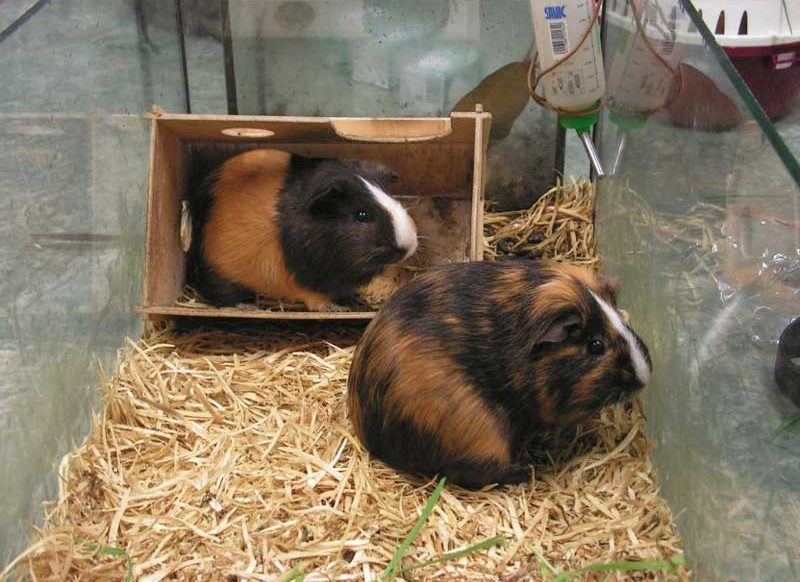 How-To-Build-A-Guinea-Pig-Cage-From-Scratch