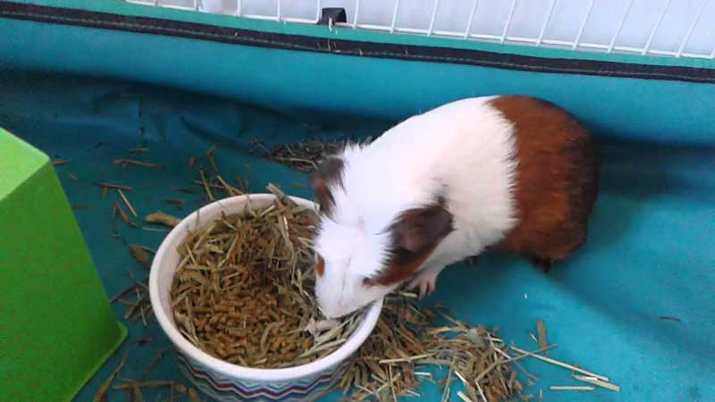 How-To-Potty-Train-a-Guinea-Pig