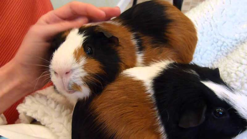 How-To-Tame-A-Guinea-Pig