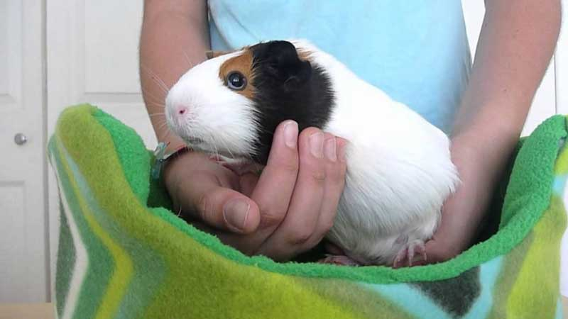 How-to-Care-Of-Your-Guinea-Pig