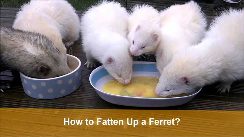 How-to-Fatten-Up-a-Ferret