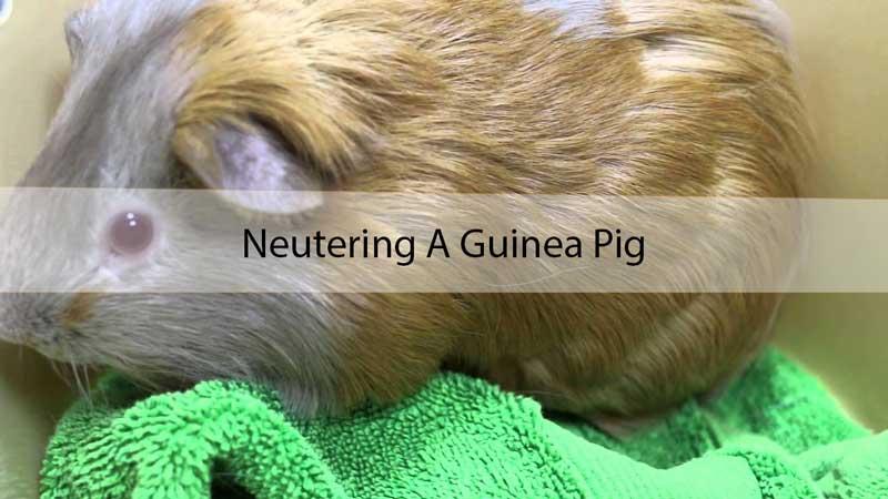 Neutering-A-Guinea-Pig