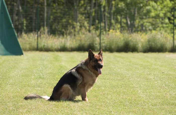 Training-Your-German-Shepherd-How-To-Sit