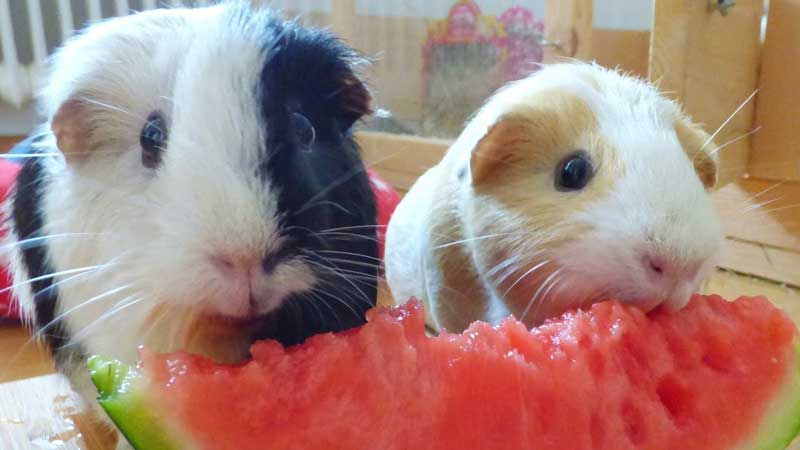What-Does-A-Guinea-Pig-Eat