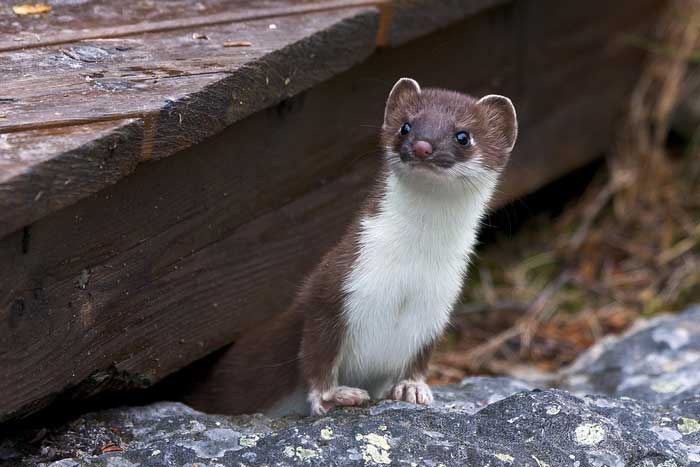 What-Is-A-Weasel