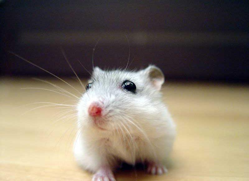 Winter-White-Hamster