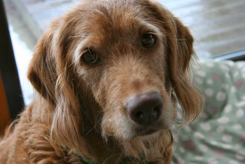 How-Long-Can-A-Dog-Live-With-Different-Diseases