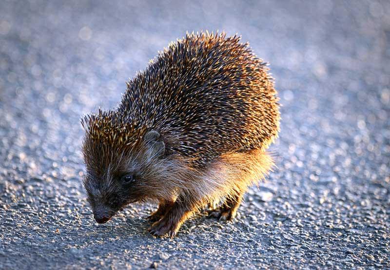 How-Long-Does-A-Hedgehog-Live