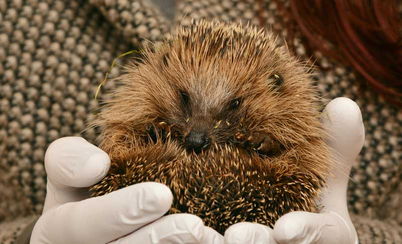 How-Much-Is-A-Pet-Hedgehog
