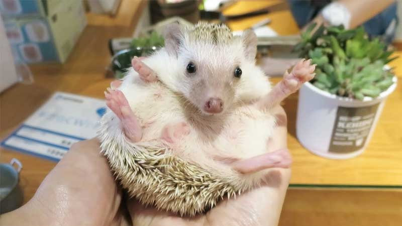 How-To-Pick-Up-and-Hold-a-Hedgehog-Properly