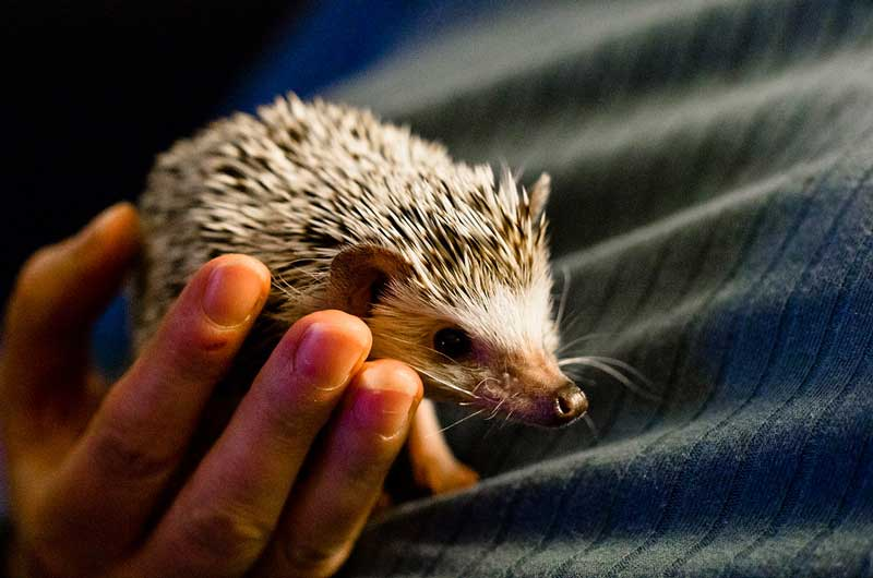 How-To-Take-Care-Of-A-Hedgehog