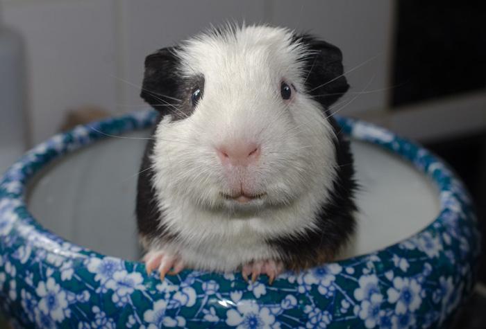 Bathe-A-Guinea-Pig