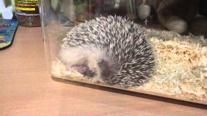 How-Long-Do-Hedgehogs-Sleep