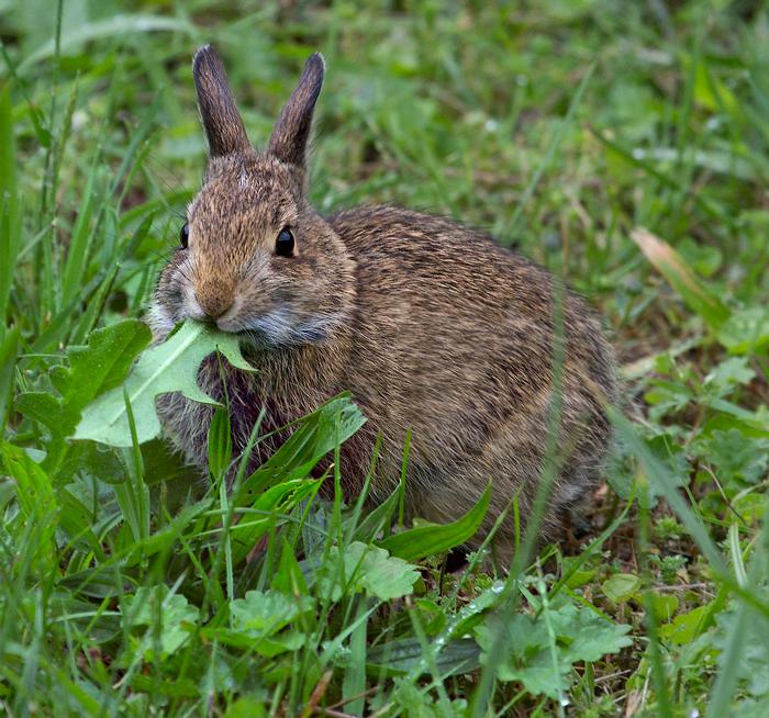 Rabbits Eat Grass