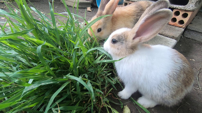 What type of grass is suitable for rabbits