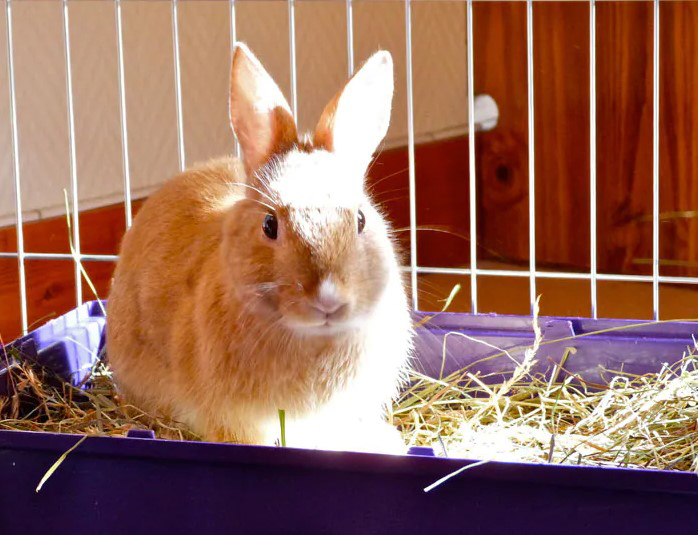 How to clean the rabbit litter box